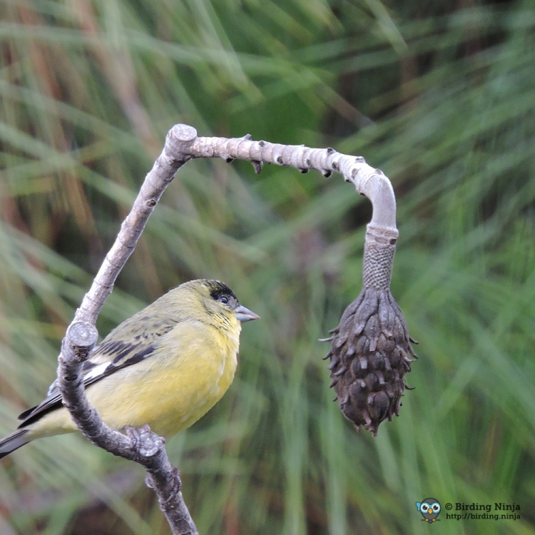 Male Lesser Goldfinch
