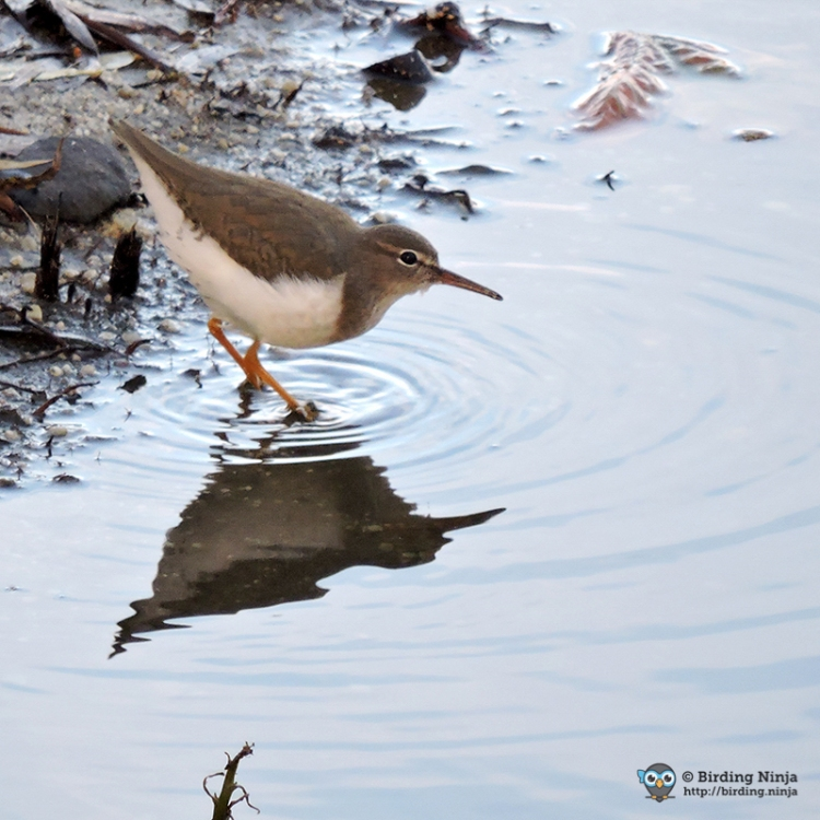 Non Breeding Spotted Sandpiper