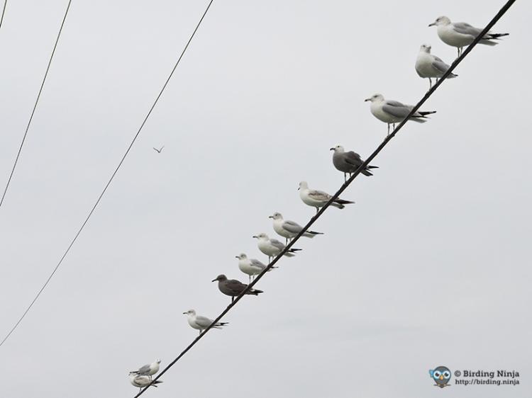 San Diego Seagulls